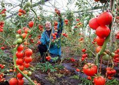 Подкормка томатов в теплице, какие необходимы удобрения и когда их использовать