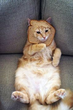 Cat In A Bread Box 140 Best Cat Breading Images On Pinterest  Baby Kittens Cat Bread