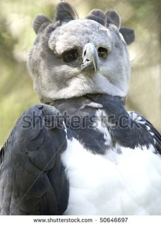 Harpia harpyja (Gavião-real) tThis bird is awesome. It's a Harpy Eagle and it looks like a Snowy Owl and Seagull collided. (The related article is full of strange creatures and useless knowledge. Pretty Birds, Beautiful Birds, Animals Beautiful, Rare Birds, Exotic Birds, Aigle Harpie, Harpy Eagle, Harpy Bird, Funny Animals