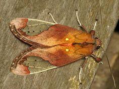 Tiger moth, Bertholdia sp. | Flickr - Photo Sharing!