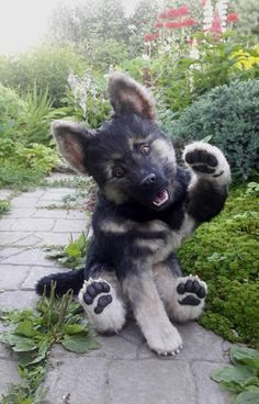 """Rex"" German shepherd puppy  via @KaufmannsPuppy"