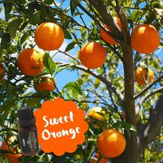 Did you know: Orange essential oil is derived from the outer peel, not the…