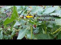 A krumplibogár és lárvájának legyőzése S02E34 - YouTube Youtube, Plants, Plant, Youtubers, Youtube Movies, Planets