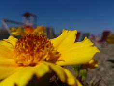 yellow flower, in the moutains in Italy  very nice picture