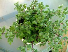 Korn, Health And Beauty, Herbs, Fruit, Plants, Gardening, Lawn And Garden, Herb, Plant
