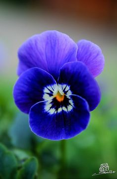 Pansy ~ by Marian Ro