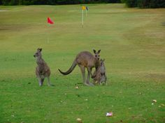 Angleasea golf course Victoria Australia. At the start of the Great Ocean Road. Brought to you by Femme Classic Art http://www.femme-classic-art.com Tags: win trip to Australia pin it! Contest competition kangaroos