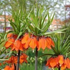 Fritillaria imperialis Rubra Maxima