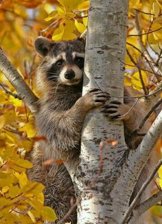 Racoon up a tree in fall Forest Animals, Nature Animals, Woodland Animals, Animals And Pets, Baby Animals, Funny Animals, Cute Animals, Wild Animals, Strange Animals