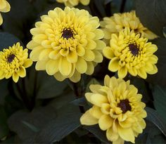 """Dahlia """"Elise"""" Height - 12""""  Blooms - 2""""  Form - Peony    Stunning bright yellow blooms with dark center discs on equally dak foliage. This new Munchkin Border Dahlia is easy to grow and will be covered with blooms all summer"""