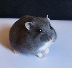 Russian Blue Dwarf Hamster - You won't find this colour in pet shops. Robo Dwarf Hamsters, Funny Hamsters, Cute Baby Animals, Animals And Pets, Funny Animals, Hamster Care, Hamster Diys, Hamster Stuff, Russian Dwarf Hamster