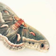 Butterfly Photography (Cecropia Moth actually)  Title: Afterlife Photographer: Carl Christensen