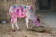 Holi festival cow