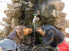 Chester & Gretel sharing water in Bend, OR.