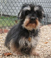 PELE is an adoptable Havanese Dog in Eastport, NY. Although he gives the appearance of a little old man with his white, bushy eyebrows, Pele is a Havanese, just seven (7) years young. His foster mom reports that he is the happiest little dog you ever saw! Pele weighs approx. 18lbs, prefers being an only pet and is ideal for an adult home. He has a treatable skin condition, and medication will be included with his adoption. Grooming is also available. Please call (631) 728-3524…