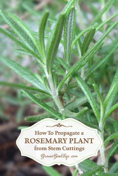 Learn how to take rosemary cuttings from an established mother plant and grow new rosemary plants in containers that can be moved outside in summer and indoors in winter.