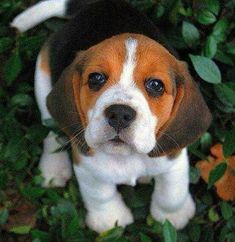 OMG I LOVE beagles!!! I have one and he is really old and about to passI love him so much❤ #Beagle