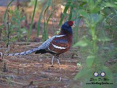 Copyright Birding2asia.com
