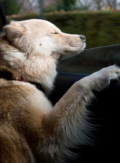 15 Cães que adoram passear de carro mais do que tudo