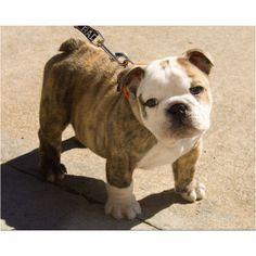 Bulldog pup... I want!