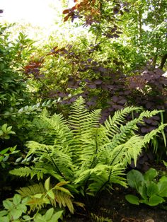 Dryopteris atrata and smoke bush. Contrasting colours work well together .