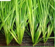 Artificial Grass Garden, New Zealand Image, Shearing, Strength, Herbs, Football, Soccer, Futbol, Herb