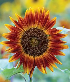 Little Becka dwarf sunflower (Helianthus annus) This variety grows up to 24 inches. We are planting 10 varieties of dwarf sunflowers as a temporary filler for the flower bed, as we can't plant bulbs until October or November in our hot desert climate.
