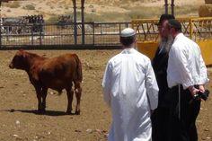 Rote Kühe in der Negev-Wüste: Zwei Jahre lang müssen sie thoragerecht gehalten werden, erst dann werden sie heilig