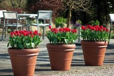 Red tulips in large clay pots brightens up any spring garden - after they bloom, remove and replant with annuals