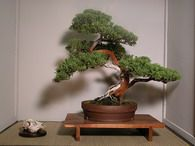 Bonsai juniper care http://www.ncarboretum.org/Horticulture/bonsai.htm