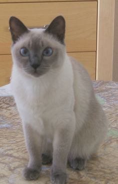 Meika Moo, Blue Mink Tonkinese Female born in San Diego County - was one amazing little girl!