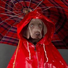 William Wegman, Rain Ready, 2002 #red #puppies