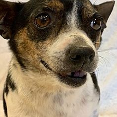Pictures of Gigi a Terrier (Unknown Type, Small) for adoption in Garland, TX who needs a loving home. Shelter Dogs, Rescue Dogs, Animal Rescue, Free Puppies, Cute Dogs And Puppies, Funny Animals, Cute Animals, Pet Adoption Center, Miss Kitty