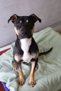Endre...6 month old male, Staffy / Kelpie X   ~  Adopted 19.6.2015
