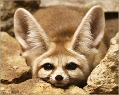 Fennec Fox: smallest fox/canid in world lb). With Gray Foxes, considered easiest to domesticate . Fenic Fox, Cute Baby Animals, Animals And Pets, Strange Animals, Beautiful Creatures, Animals Beautiful, Fennec Fox Pet, Fox Art, Cute Fox