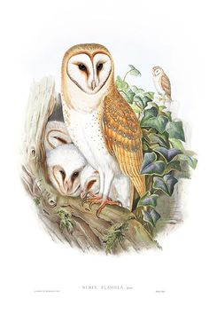 BARN OWL - Lithograph by Henry Constantine Richter from Birds of Great Britain, London 1862-73