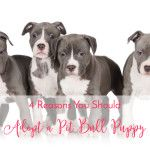 4 Reasons You Should Adopt A Pit Bull