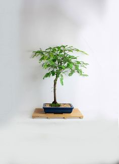 "Tamarind Bonsai Tree ""Winter'16 Exotics collection"" from LiveBonsaiTree by LiveBonsaiTree on Etsy"