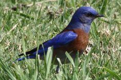 Western Bluebird - El Dorado Regional Park