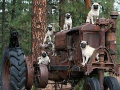 Pug Farming