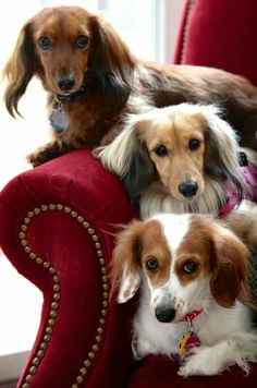 Longhaired Dachshund puppy dogs