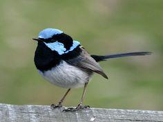 . Superb Blue Wren - one of my favourite birds!! So cute!