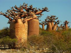Baobabs in Madagascar. These are awesome Cool Pictures Of Nature, Nature Images, Nature Photos, Le Baobab, Baobab Tree, Socotra, Mother Earth, Mother Nature, Up Imagenes