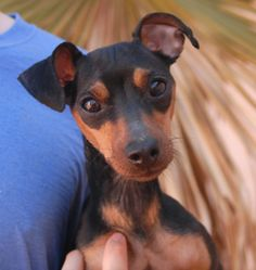 Ivory was found abandoned in a large Vegas park with no sign of responsible ownership (no ID tag, no microchip ID, not spayed).  She was found by a kind person and we don't believe she had been there long (it is a park known for being frequented by coyotes at night).  Ivory is an adorable Miniature Pinscher, 2 years young, now spayed & micro-chipped, and debuting for adoption today at Nevada SPCA (www.nevadaspca.org).  She loves kind people and gets along beautifully with other dogs too.