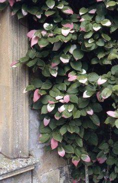 Actinidia kolomikta kameleontbuske. Klätrande. Ungplanta har gröna blad men blir rosa och vita med ålder. Endast hanplantor får skiftande blad, honplantor förblir gröna. Kraftigt växtsätt. Beskärning under sommar/tidig höst då busken blöder på våren. Sol eller skugga. Vacker mot grått och passar tilsammans med rosa rhododendron och azaleor.
