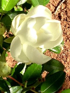 December and this miniature rose is still flowering.