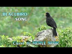 MERLE NOIR chant -  Singing Blackbird