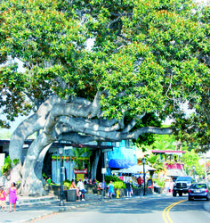 Huge Banyon tree hangs out over Alii Drive in downtown Kona, on the western coast of Hawaii's Big Island.