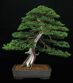 The Formosan juniper