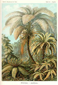 Filicinae by Ernst Haeckel;  Kunstformen der Natur, 1900
